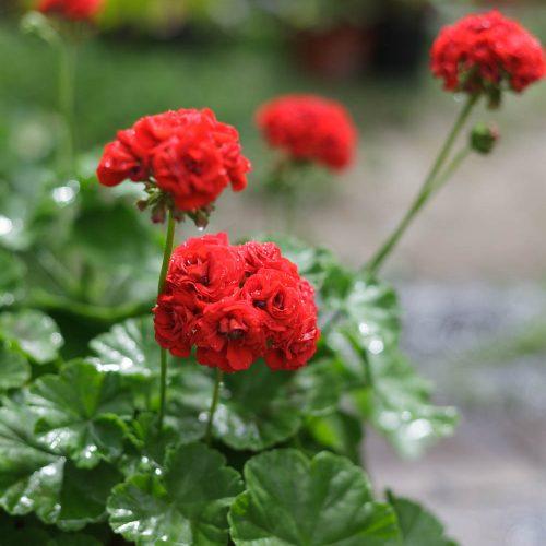 Dagnys Plantskola - Red Rambler / Röd Rosenknopp
