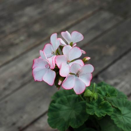 Dagnys Plantskola - Carmel