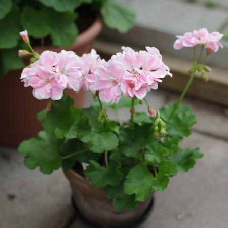 Dagnys Plantskola - Saga