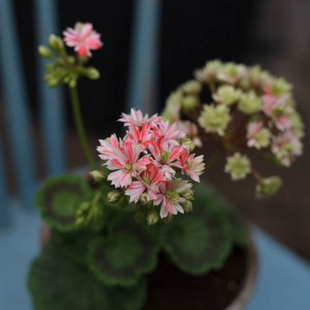 Dagnys Plantskola - Swiss Star / Marllorca