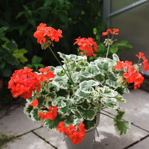 Dagnys Plantskola - Flower of Spro