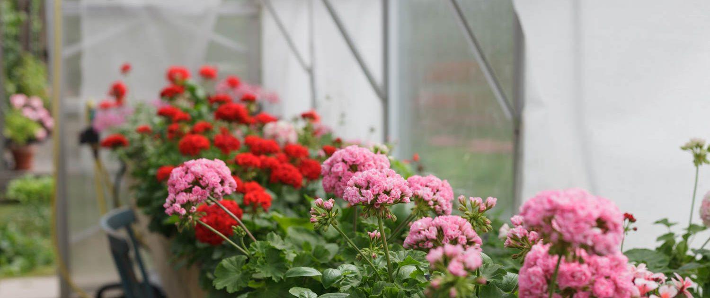 Dagnys Plantskola - Botanisera bland våra pelargoner och hitta dina favoriter. Vi säljer pelargonsticklingar via postorder, på marknader och mässor. Välkommen in i pelargonbutiken!