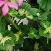 Dagnys Plantskola - Pink Happy Thought
