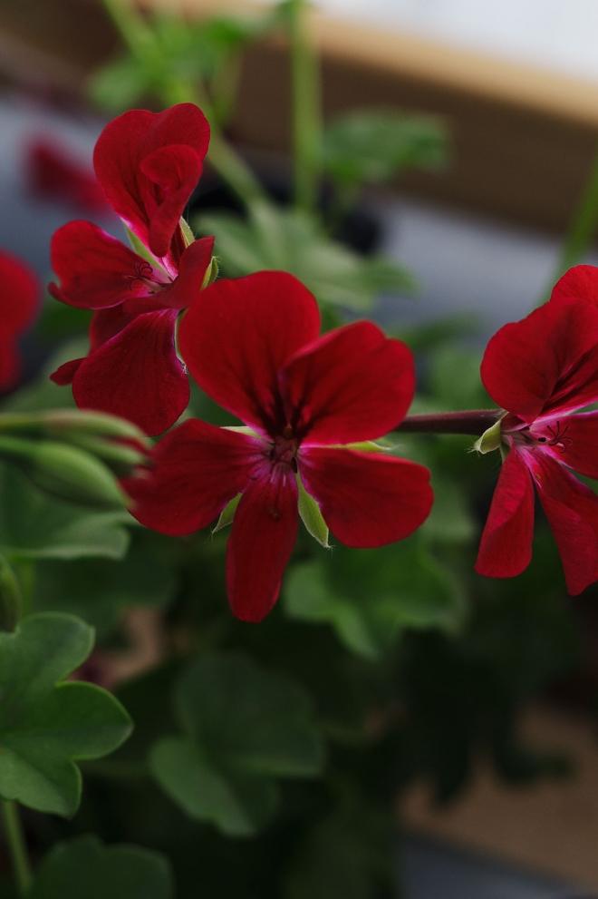 Dagnys Plantskola - Villetta Burgundy